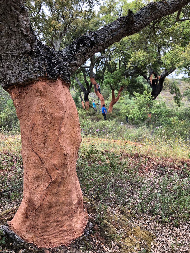 Cork trees being stripped of cork in the Alentejo region in southern Portugal